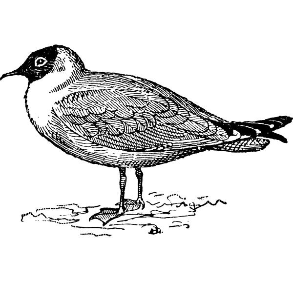laughing gull or leucophaeus atricilla vintage