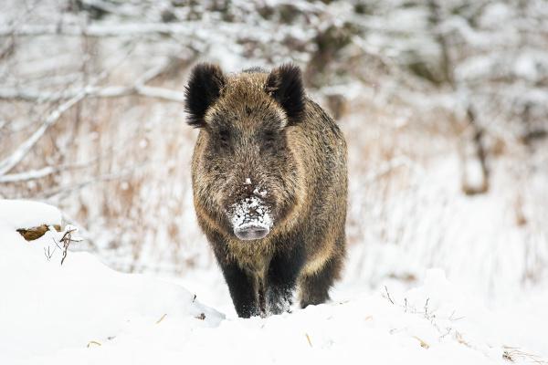 powerful wild boar standing in snow