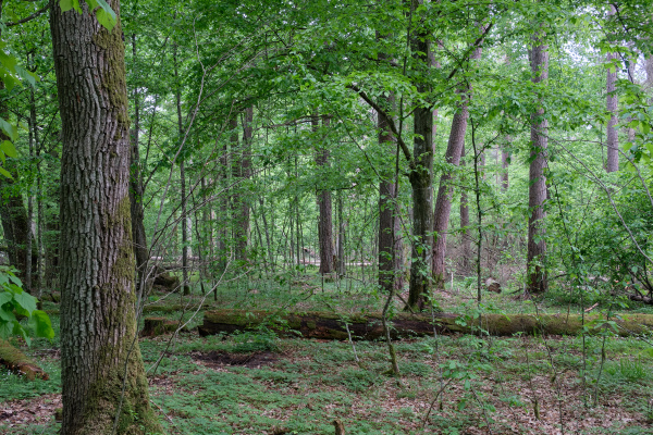 deciduous stand with hornbeams and oaks