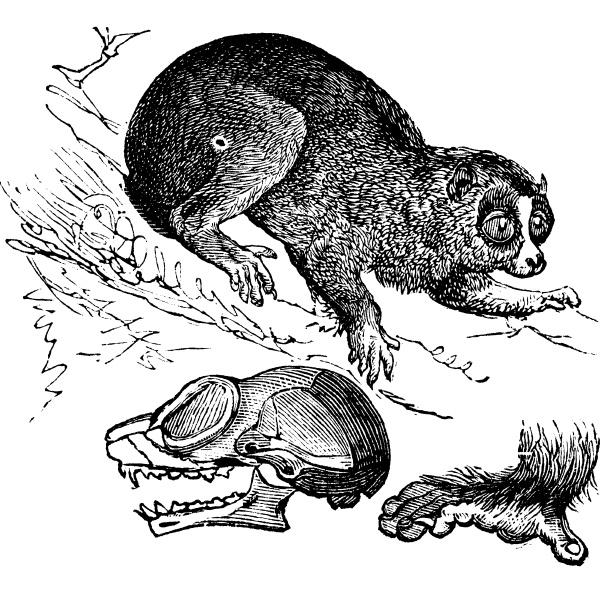 bengal slow loris or nycticebus bengalensis