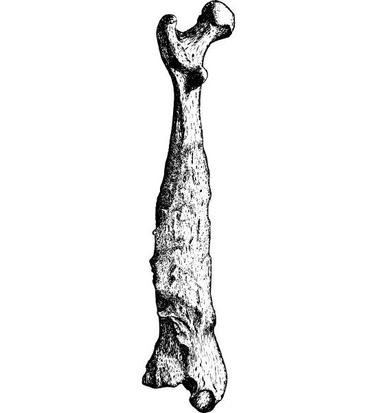 femur longitudinal section of bone vintage