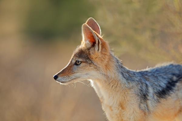 black backed jackal kalahari desert
