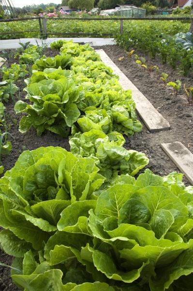 romain lettuce on a vegetable garden