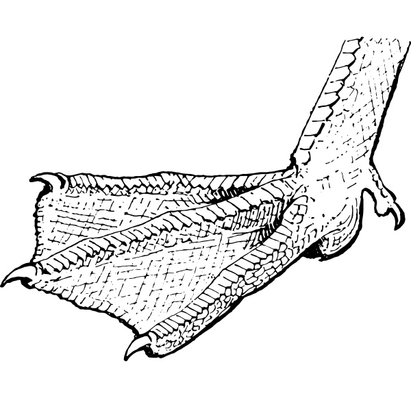 webbed toes vintage engraving