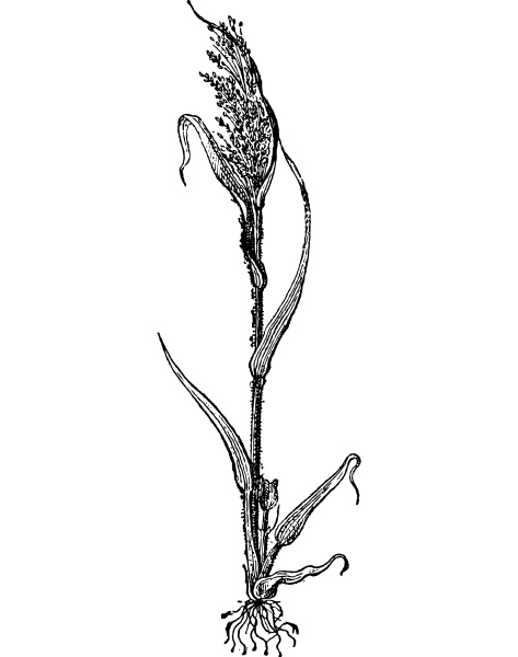 italian millet or setaria italica