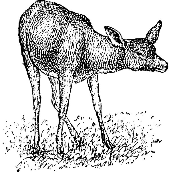 deer vintage engraving