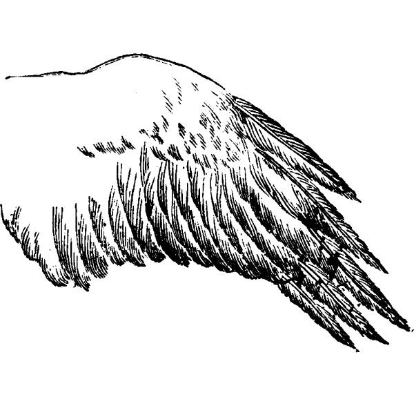 sparrowhawk wing vintage engraving
