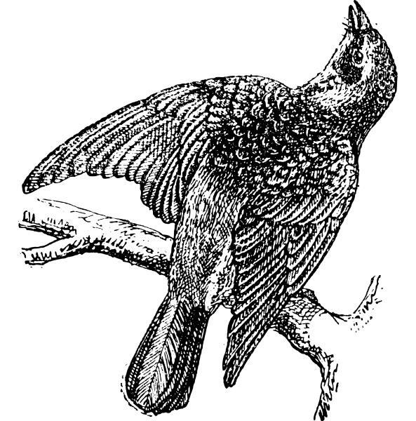 fieldfare or turdus pilaris vintage engraving