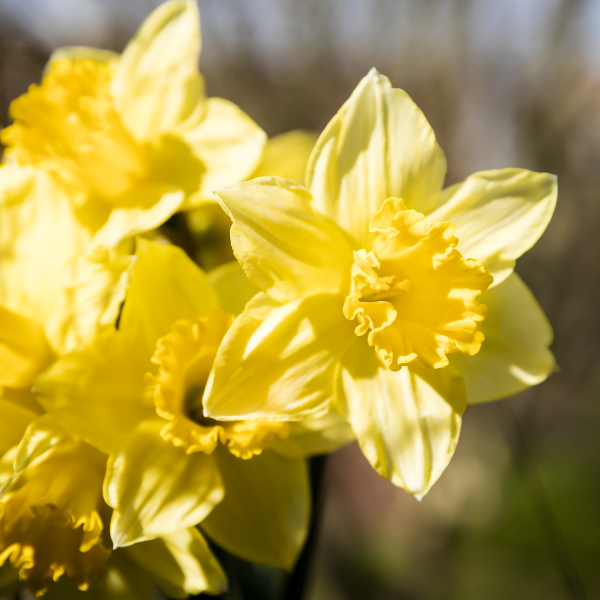 the flowers of daffodils light up