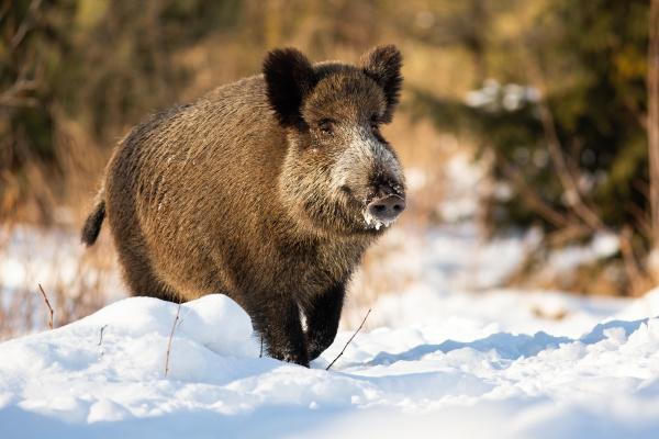 tough wild boar running on a
