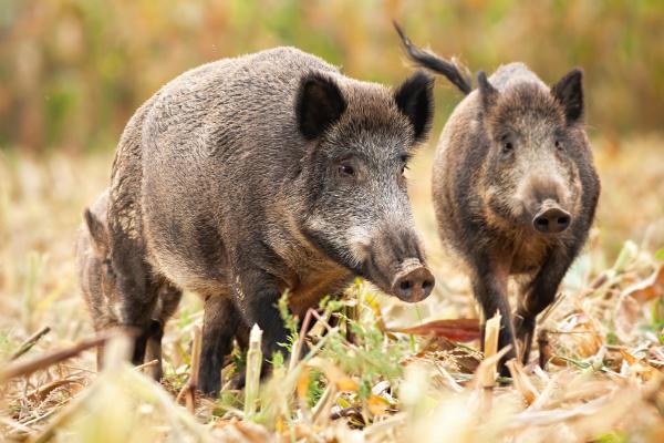 cute wild boar family grazing on