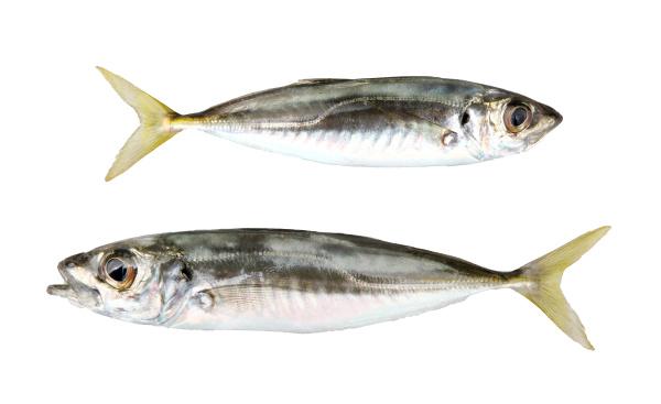 close up of atlantic horse mackerel