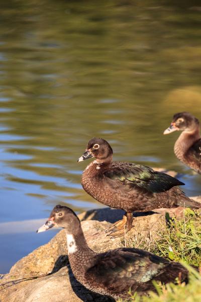juvenile muscovy duck cairina moschata flock
