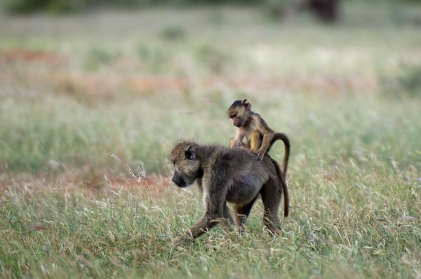 yellow baboon papio hamadryas cynocephalus and