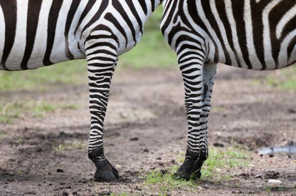 cropped shot of common zebra equus