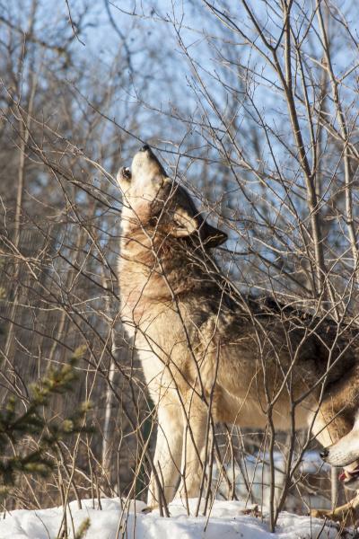 usa minnesota sandstone wolf howling