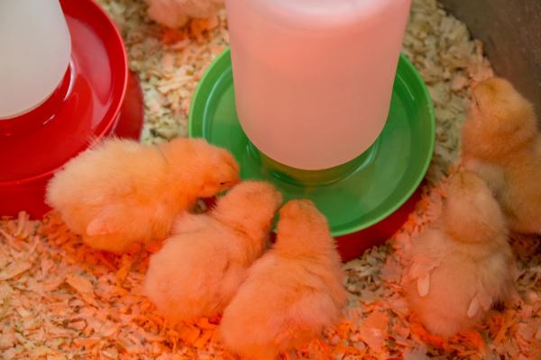 buff orpington chicks huddled together under