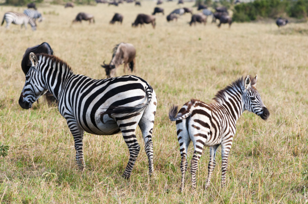 common zebra burchells zebra equus burchellii