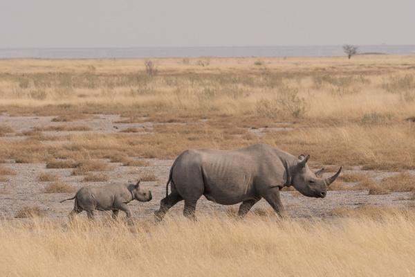 a mother black rhinoceros diceros bicornis