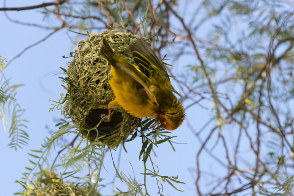 weaver with nest swaziland
