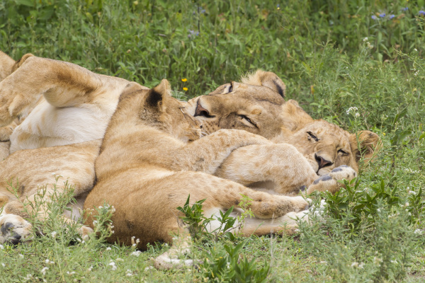 part of lion pride adult and