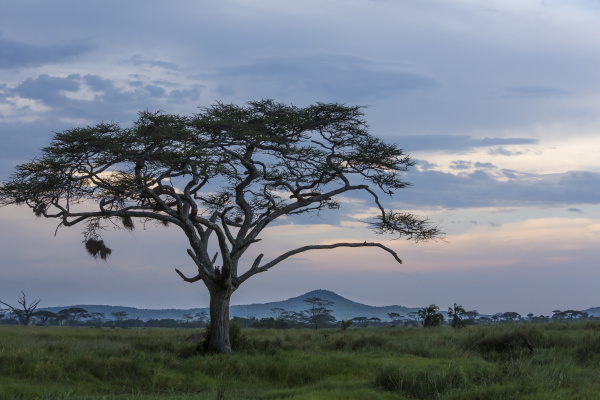 landscape of large acacia tree grass