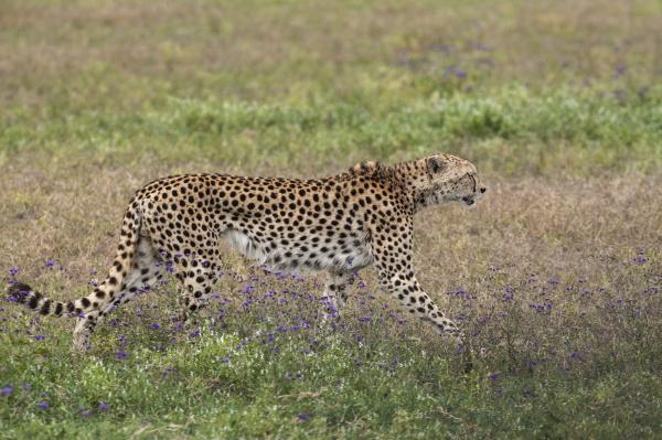 africa cheetah tanzania