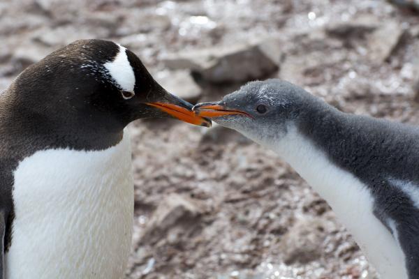 antarctica neko harbor gentoo penguin pygoscelis