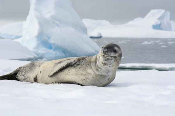 antarctica charlotte bay leopard seal hydrurga