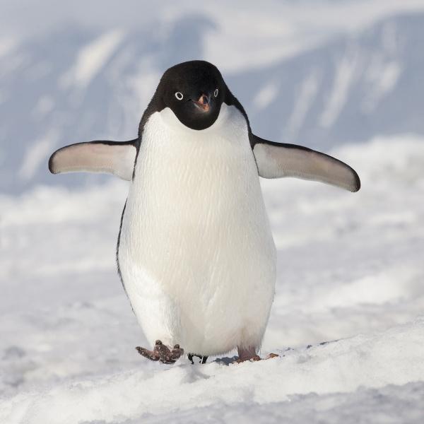 cape washington antarctica adelie penguin walks