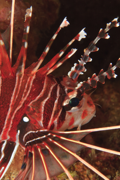 zebra lionfish dendrochirus zebra banda sea