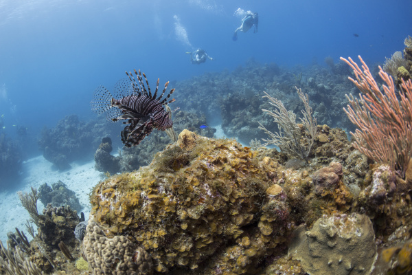 a lionfish is seen above the