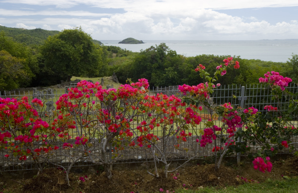 martinique french antilles west indies flowering