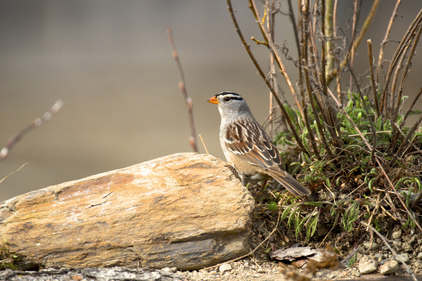 the white crowned sparrow zonotrichia leucophrys
