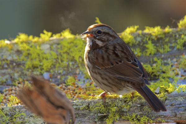the song sparrow is a medium