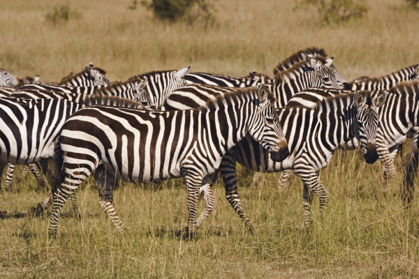 burchells zebra equus burchellii masai mara