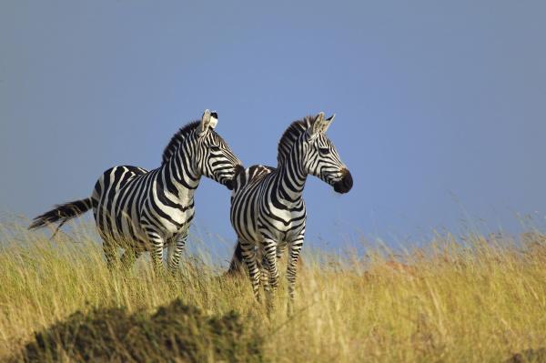 pair of burchells zebras on grassy