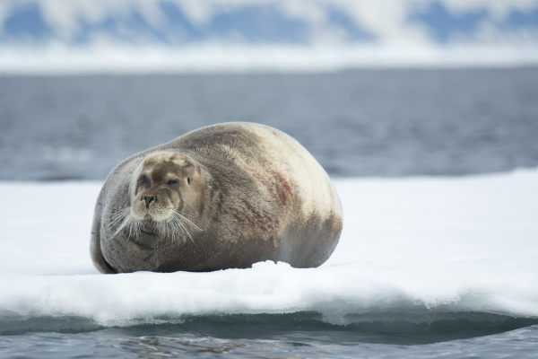 norway svalbard spitsbergen alkefjellet bearded seal