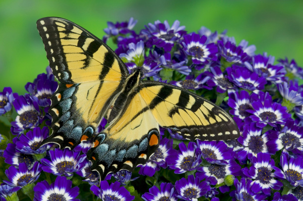 eastern tiger swallowtail papilio glaucus