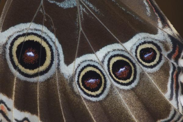 blue morpho morpho menelaus adult newly
