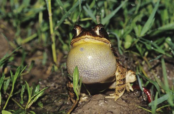 gulf coast toad bufo valliceps