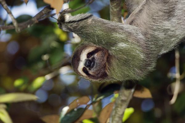 brown throated three toed sloth bradypus