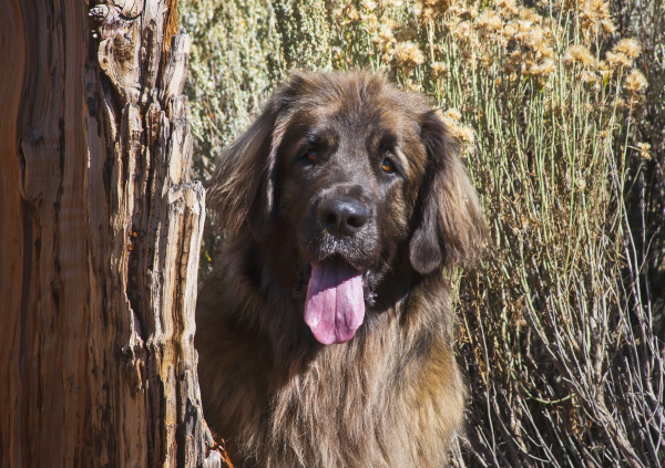 leonberger peeking out from behind a