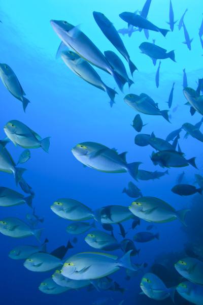 schooling unicornfish bligh water