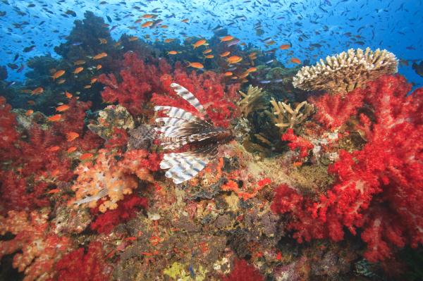 lionfish pterios volitans surrounded