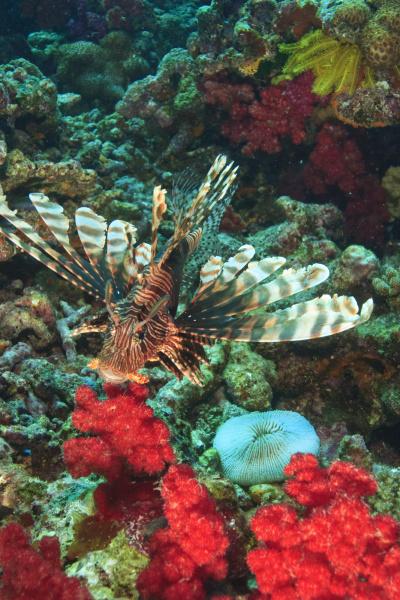 lionfish pterios volitans