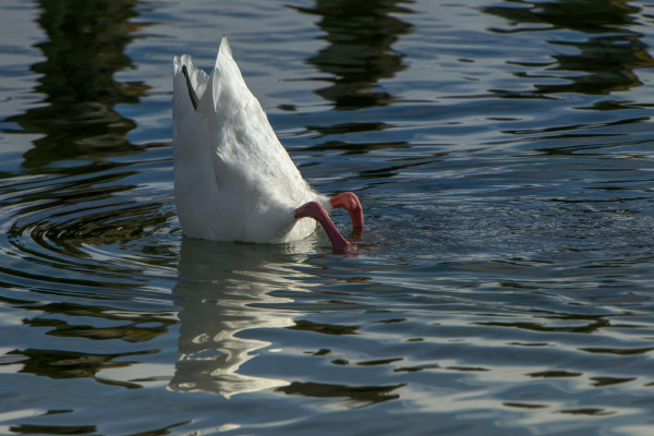 coscoroba swan coscoroba coscoroba torres del