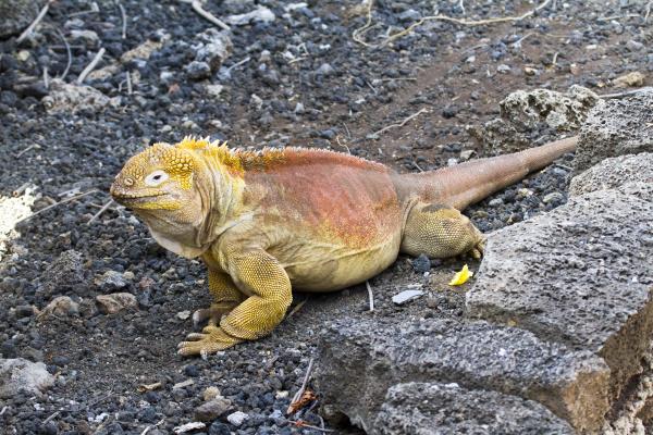 land iguana at darwin center santa