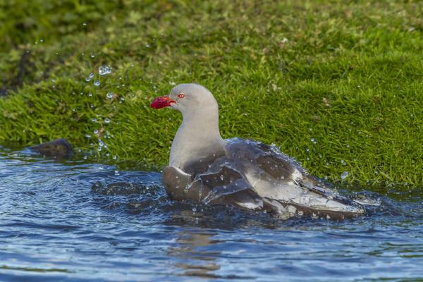falkland islands bleaker island dolphin gull