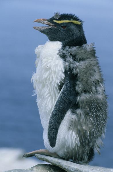 rockhopper penguins eudyptes chrysocome moulting new